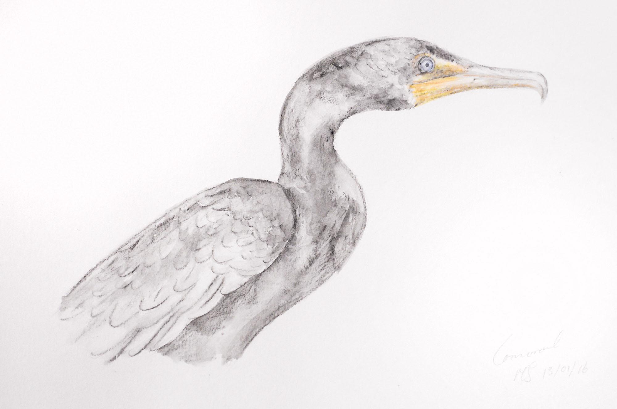 Cormorant small